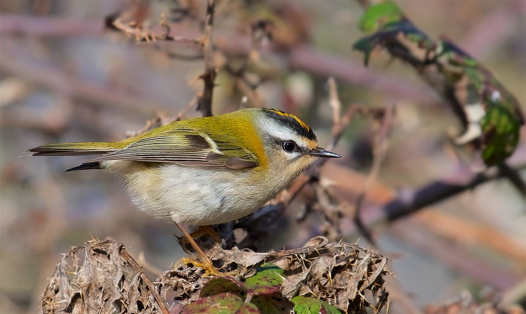 Firecrest (Explored #2 11-02-18)