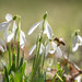 Early bee on snowdrops