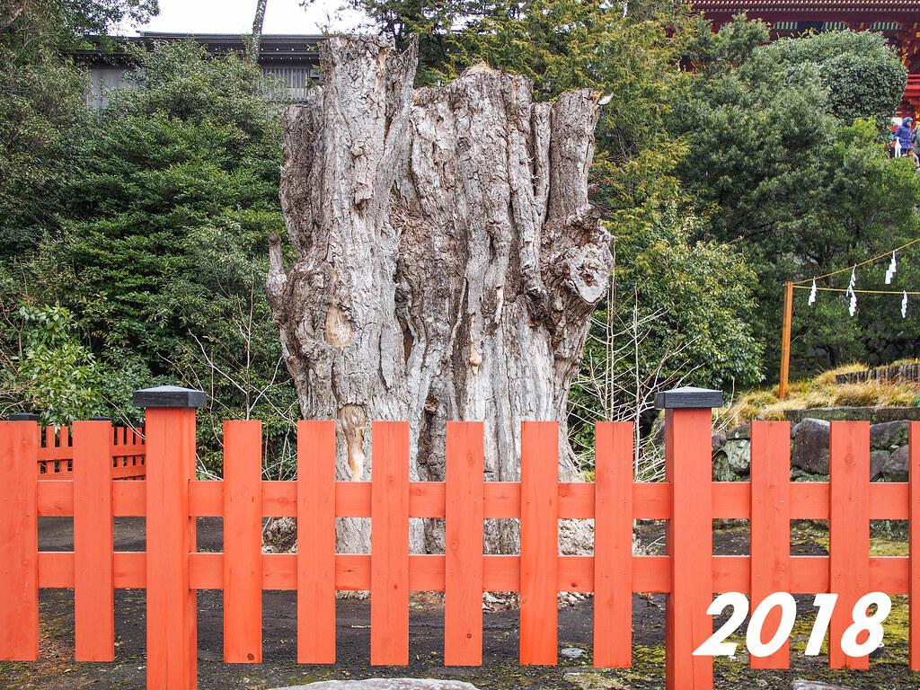 Tsurugaoka Hachimangū | The Giant Ginkgo 2018