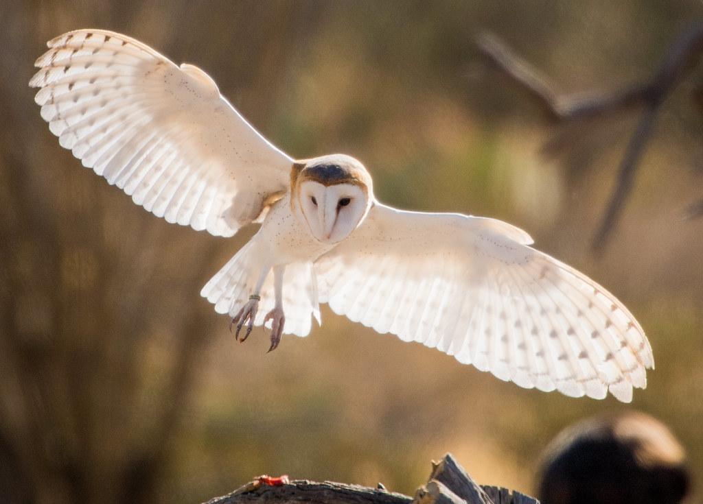 Barn Owl_20