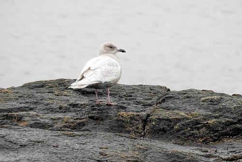 ma.iceland gull