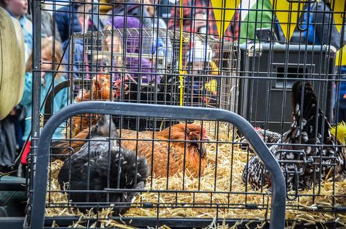 Edison Chicken Parade-70