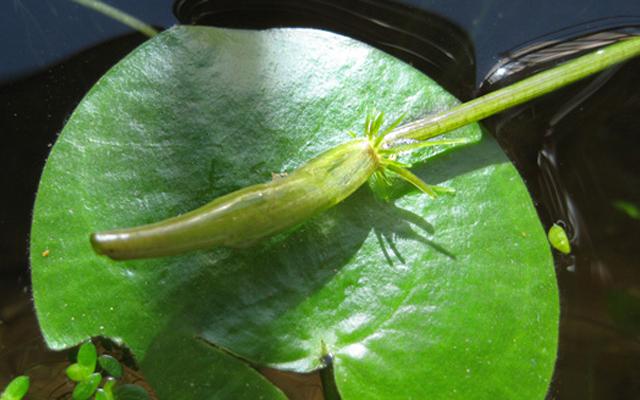 トチカガミ 鼈鏡 フロッグビットみたい ビオトープ 水生植物 水草 浮草