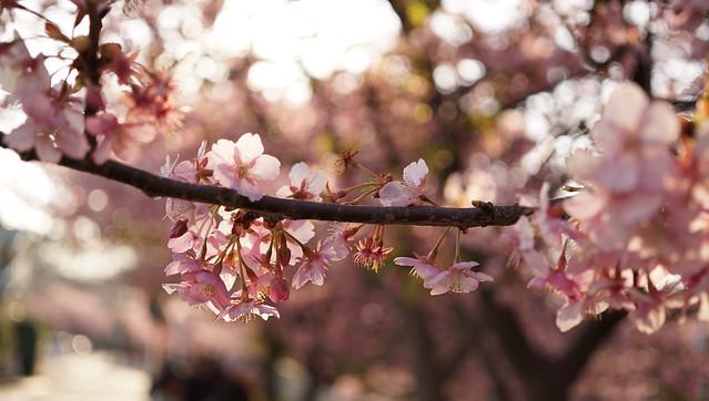 DSC07074三浦海岸桜まつり