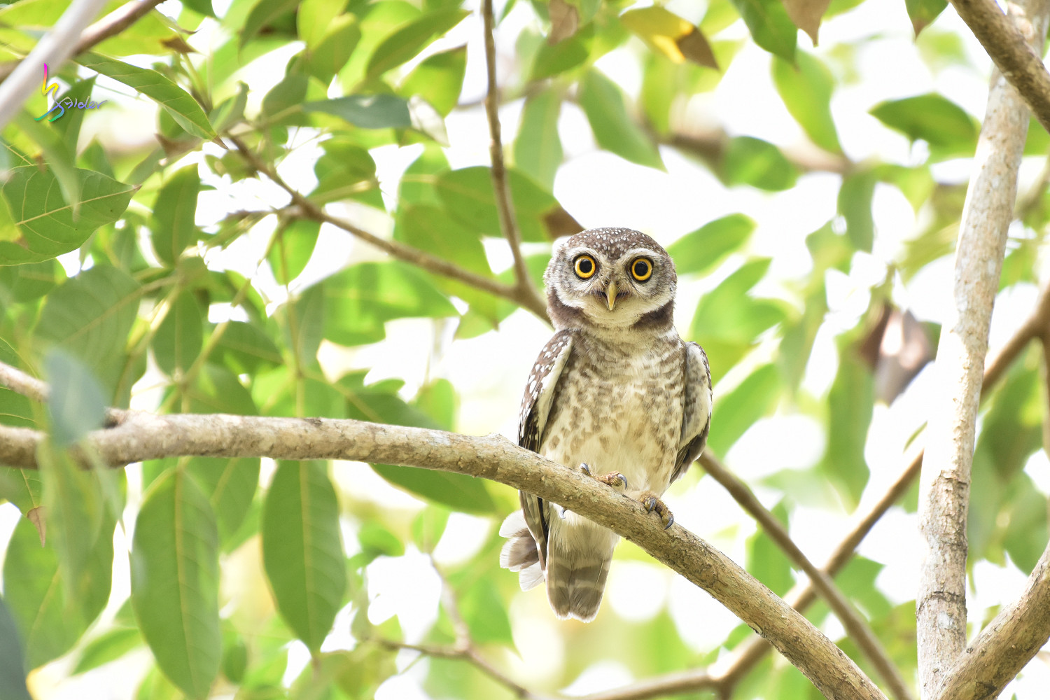 Spotted_Owlet_0404
