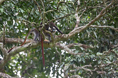 Red-tailed monkey, also known as the black-cheeked white-nosed monkey, red-tailed guenon, redtail monkey, or Schmidt's guenon (Cercopithecus ascanius), Lobéké National Park, Cameroon
