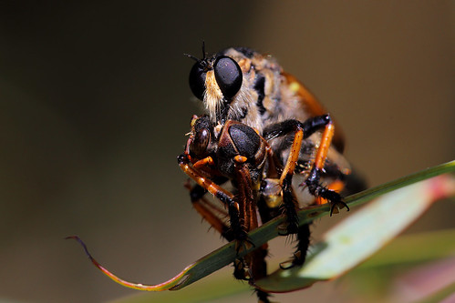 Robberfly with wasp