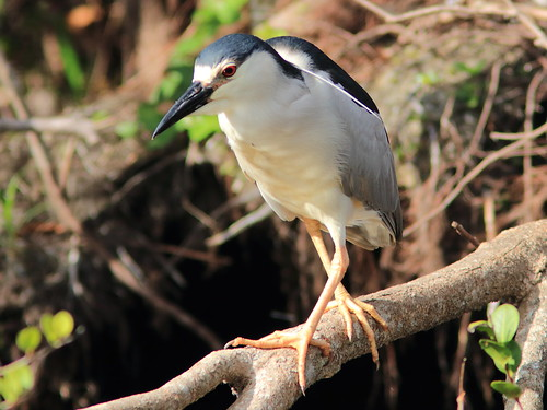 Black-crowned Night-Heron 03-20180209