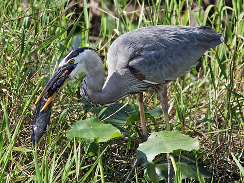 Great Blue Heron with Walking Catfish 002-20180209