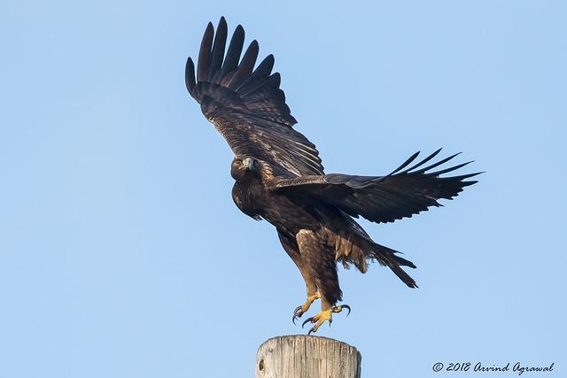 Golden Eagle - IMG_4623-1