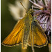 Small photo of Small Skipper - HWW!