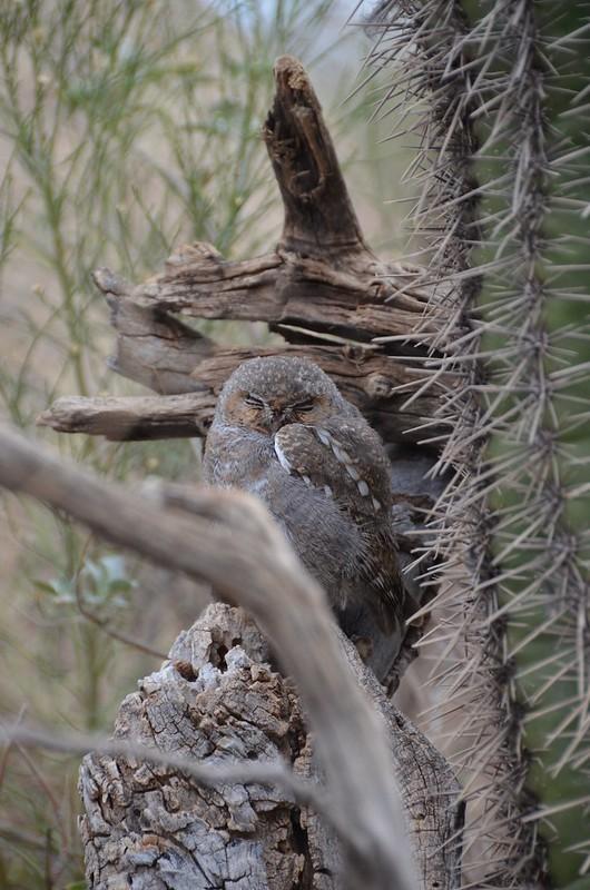 Desert Museum burrowing owl