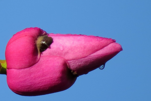 Extreme cropped version January magnolia bud in San Francisco's Golden Gate Park 180126-105241 C4C