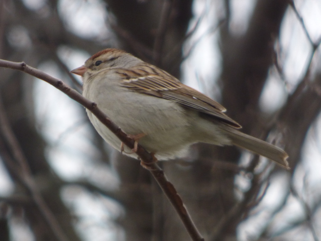 Chipping Sparrow, Breckinridge Park, 2 27 2018
