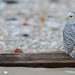 RGL_Photography has added a photo to the pool:DISCLAIMER: This Snowy Owl was photographed from a safe distance, using a 600mm prime lens, on a cropped sensor, which is a 900mm focal length equivalent. The image was also cropped in post editing. No Dunes were harmed during the making of this picture.Snowy OwlThe Snowy Owl (Bubo scandiacus) is a large, white owl of the typical owl family. Snowy Owls are native to Arctic regions in North America and Eurasia. Younger Snowy Owls start with darker plumage, which turns lighter as they get older. Males are almost all white, while females have more flecks of gray plumage.For more info: en.wikipedia.org/wiki/Snowy_owl