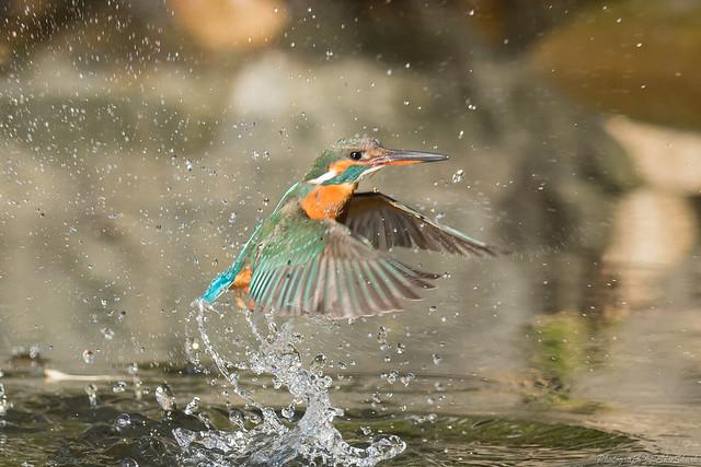 20180114-kingfisher-DSC_4534
