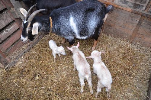 goat babies Feb 18 (16)