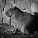 Capybara in mono