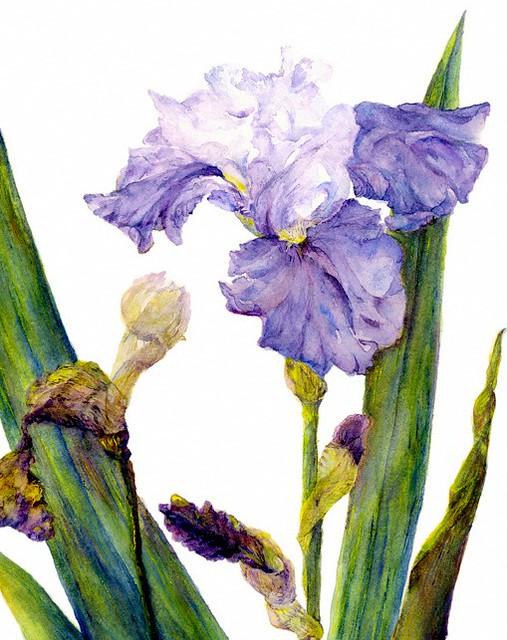 Bearded Iris © 2016 Lindy B. Pollak