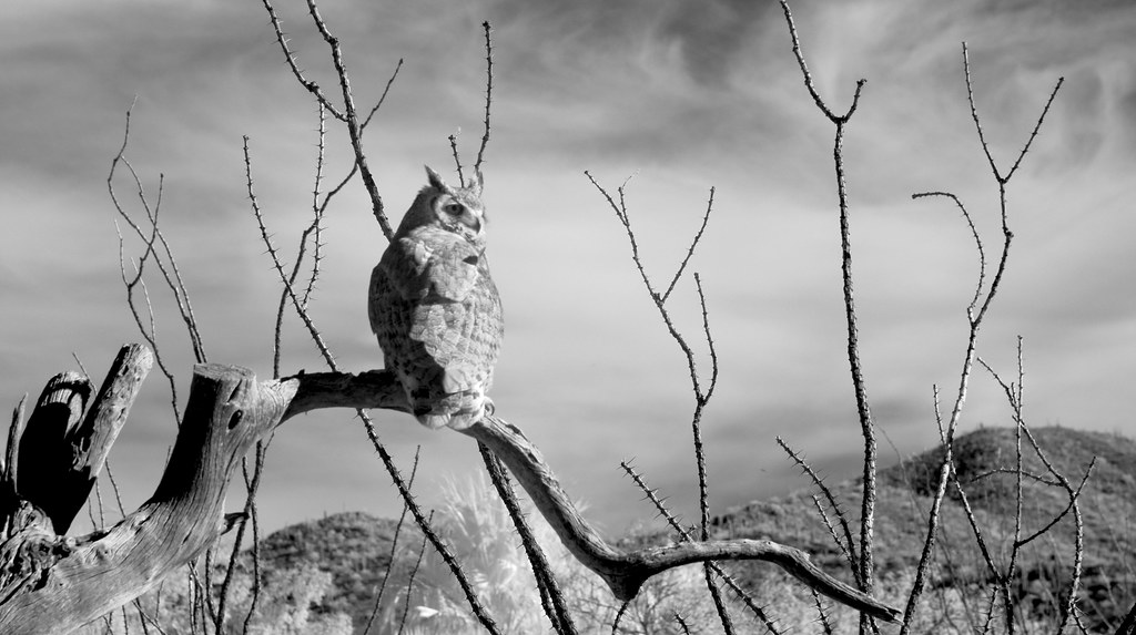 Great Horned Owl_2