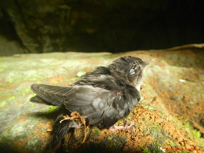 Hapless juvenile swallow