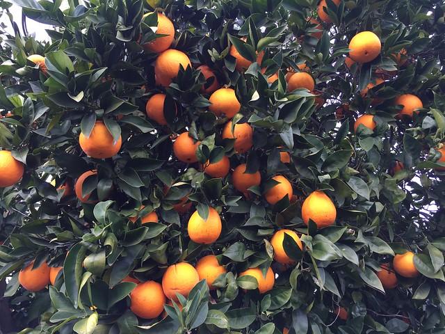 Oranges ripening