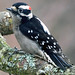 2018-03-02 Downy Woodpecker (01) (1024x680) by -jon