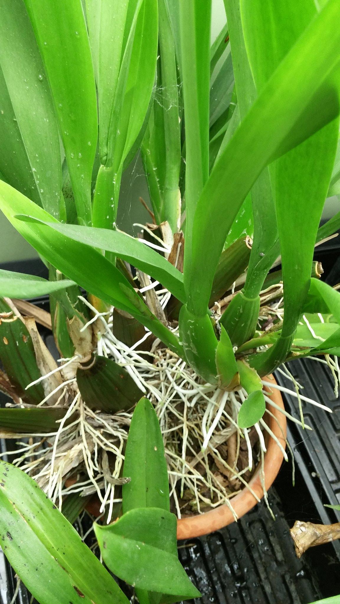 Les orchidées chez Sougriwa - Page 4 40209542442_0f5bf340b8_k