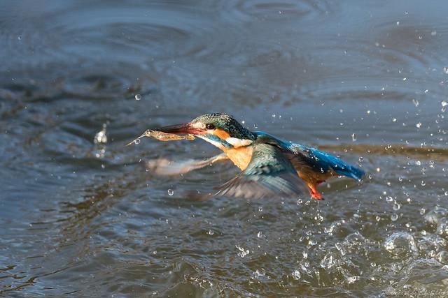 20180211-kingfisher-DSC_8143