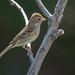 Brewer's Sparrow (Spizella breweri)