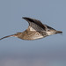 Curlew Flyby