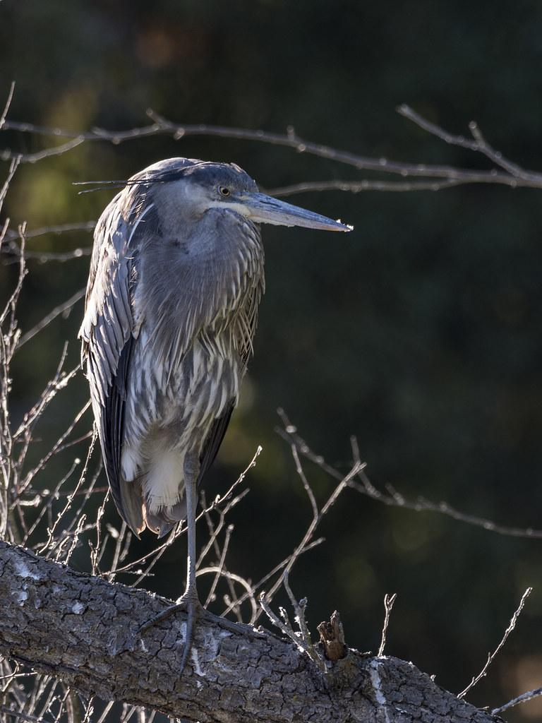 Oiseaux divers [Ajout 2 images 1 mars 2018] 40407307142_698dc75b16_b