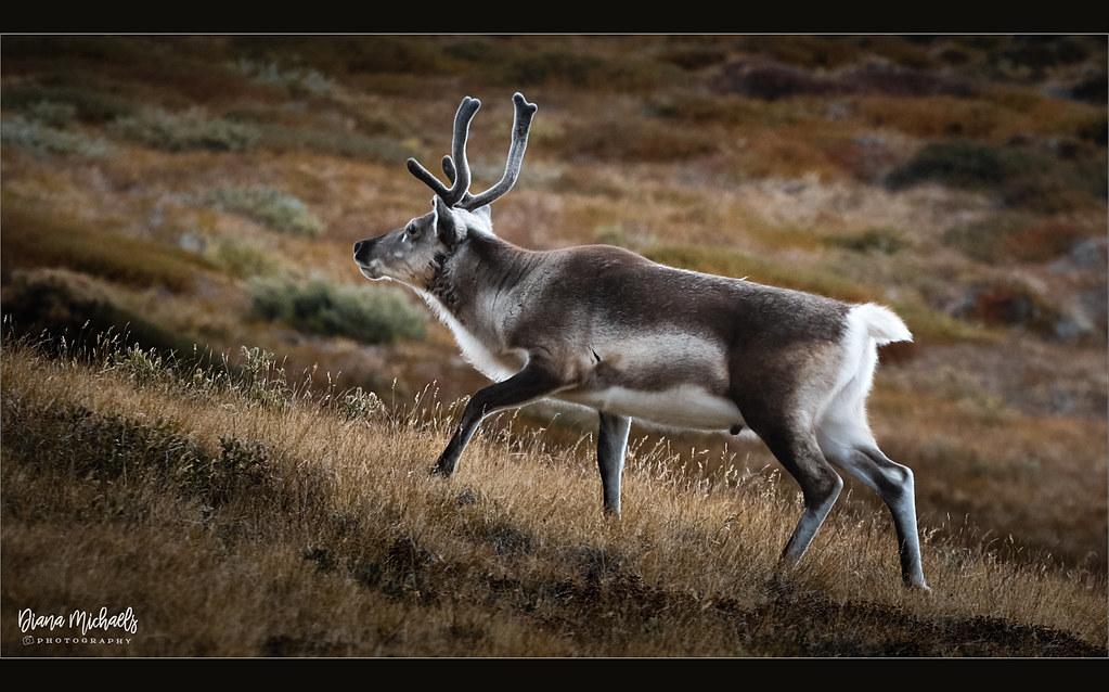 Greenland Reindeer