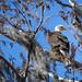 Bald Eagle by van.sutherland