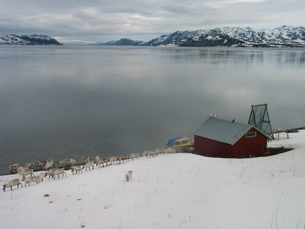 Reindeer at Repparfjord