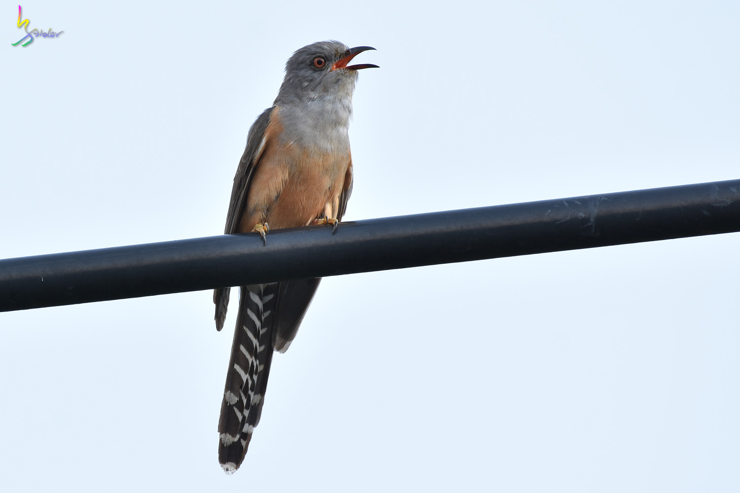 Plaintive_Cuckoo_8799