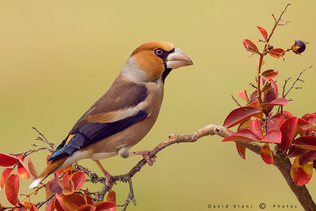 Frosone - Hawfinch - Coccothraustes coccothraustes
