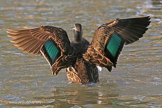 Pacific Black Duck (0059)