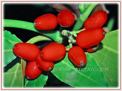 Vibrant red seeds of Aucuba japonica (Spotted Laurel, Japanese Laurel, Japanese Aucuba, Gold Dust Plant), 23 Jan 2018