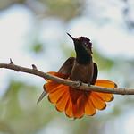 Rode kolibrie 08-04-2006 Balashi JK0221