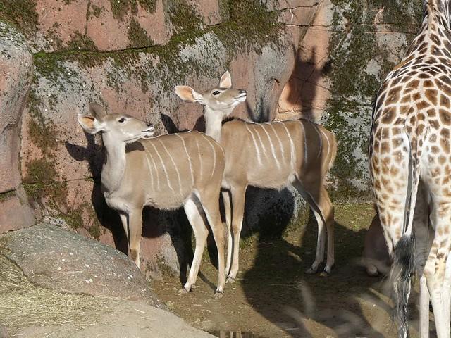 Großer Kudu, GaiaZOO