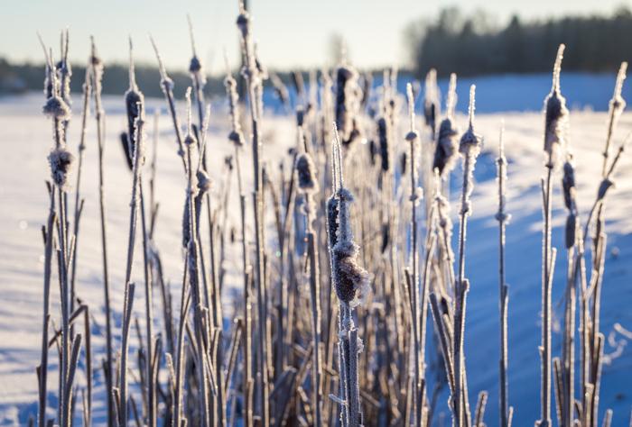luontokuvaus luonto valokuvaus takavalo vastavalo vastavaloon kuvaaminen nature photography back light talventörröttäjä pelto talvella (1 of 1)