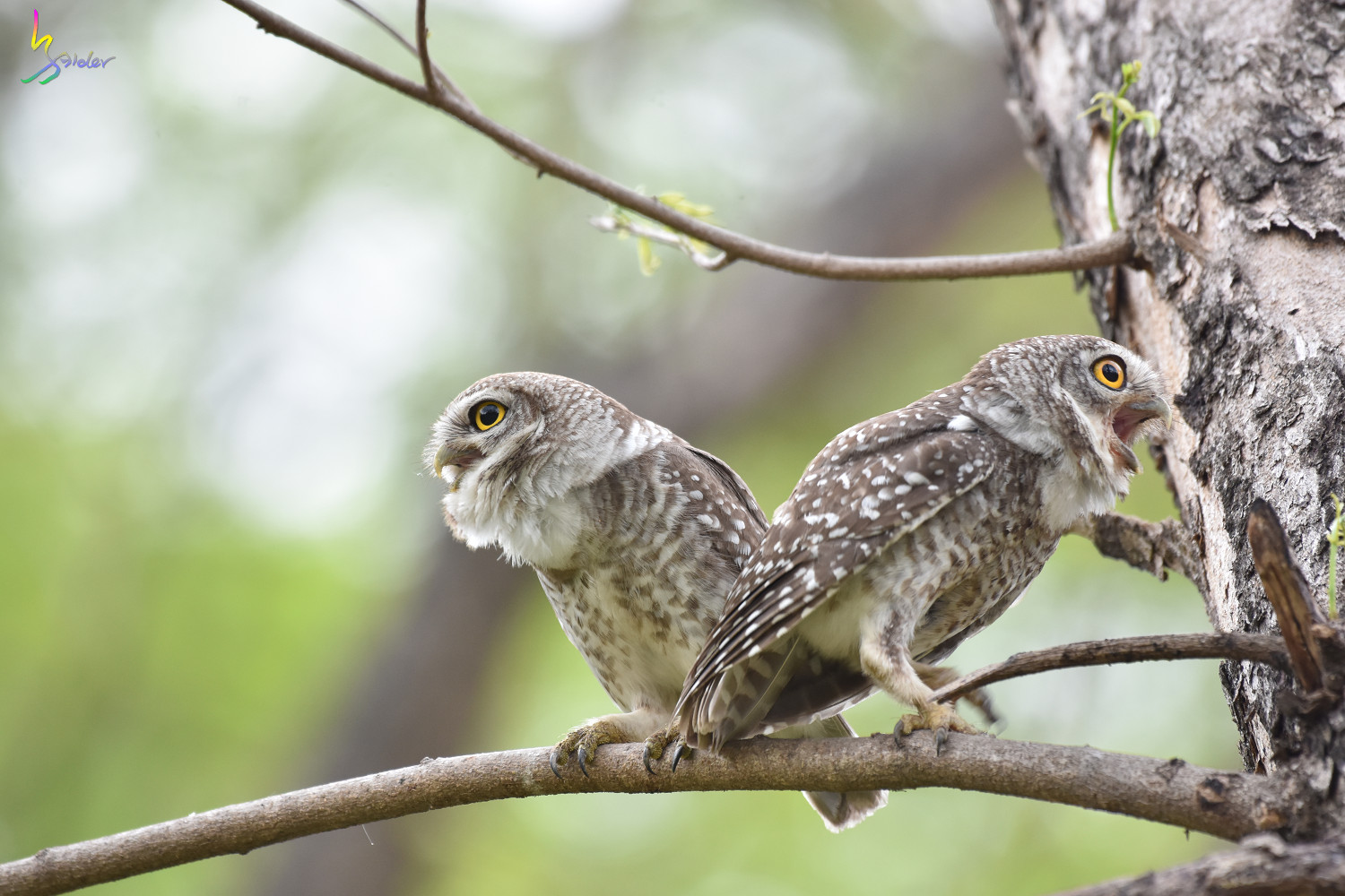 Spotted_Owlet_3974
