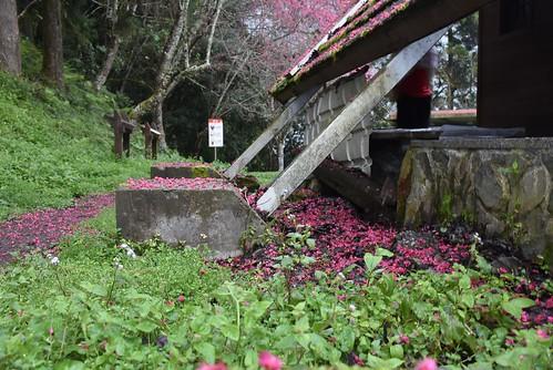 瓦拉米步道-瓦拉米山屋-櫻花