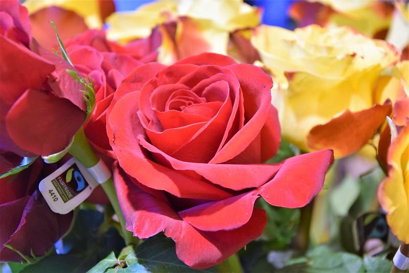 Roses 19.01 (1)