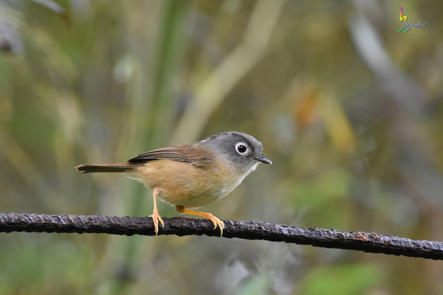 Grey-cheeked_Fulvetta_7201
