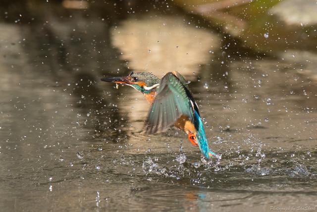 20180127-kingfisher-DSC_6065