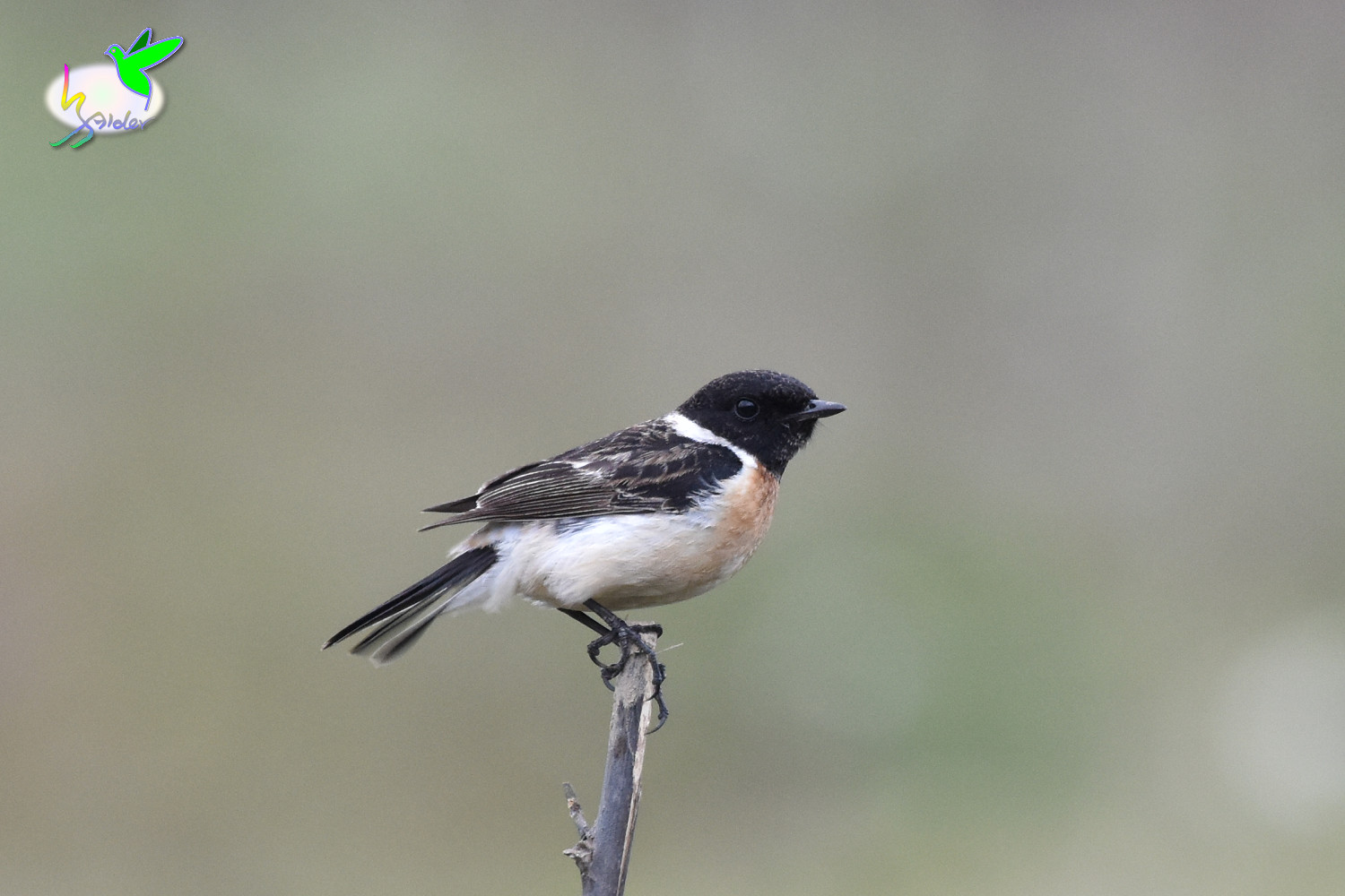 Common_Stonechat_9485