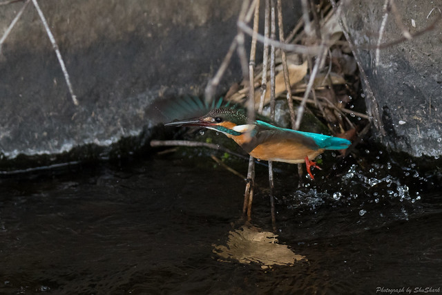 20180211-kingfisher-DSC_8323
