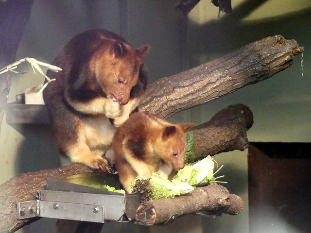 Baumkänguru, Zoo Frankfurt